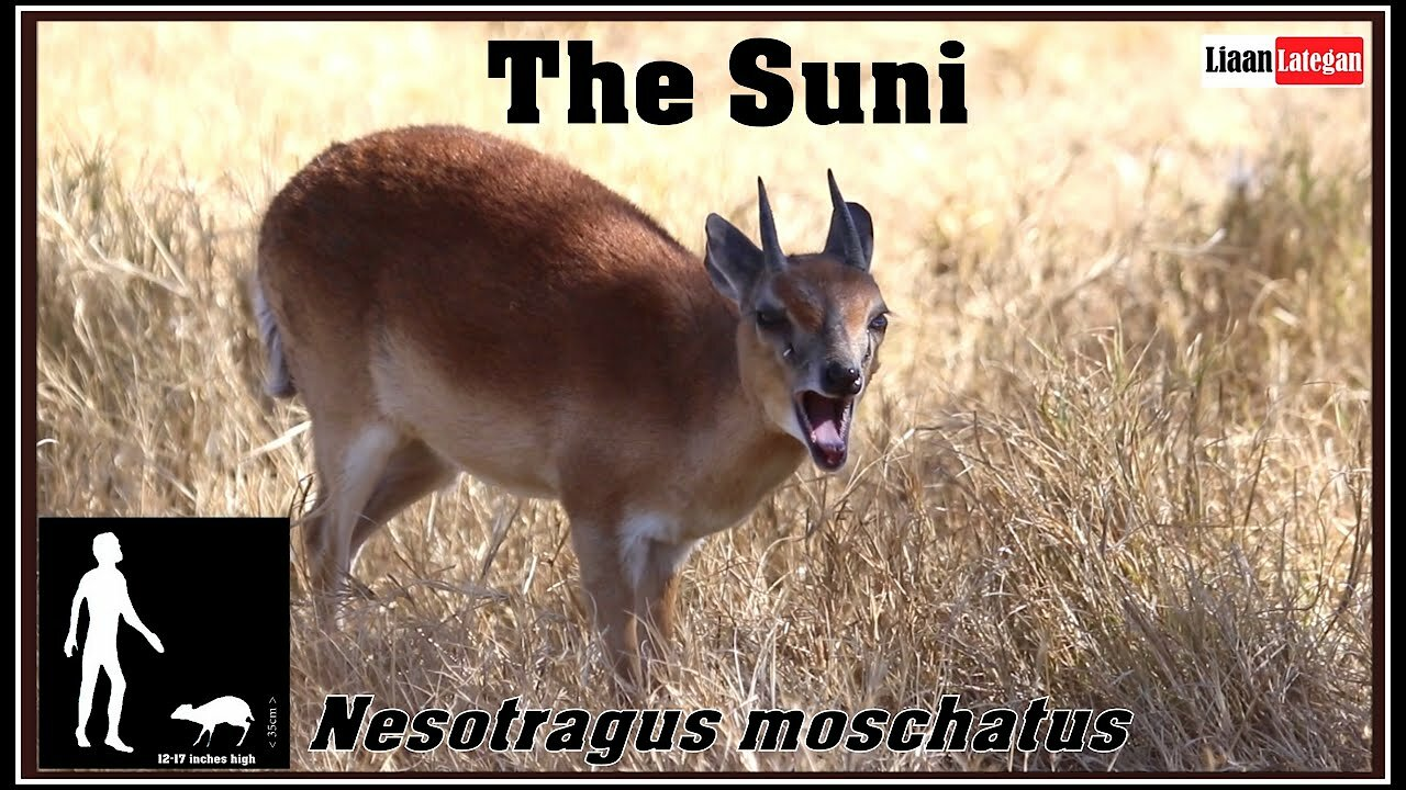 Video poster The Suni - Nesotragus moschatus