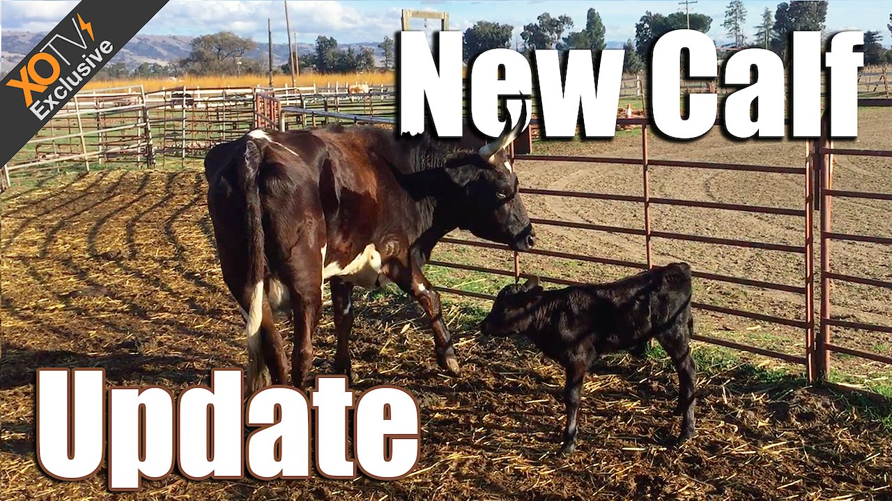 Video poster Calf Update