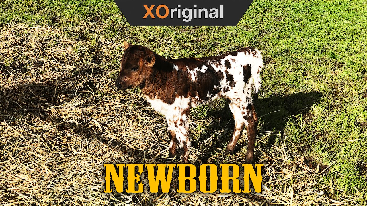 Video poster Texas Longhorn Baby!